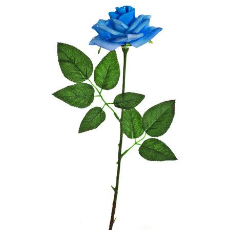 blue roses: beautiful blue rose isolated on white background Stock Photo
