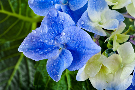 Hyndrangea Hortensia Flower with water drops top view close up macro shot photo