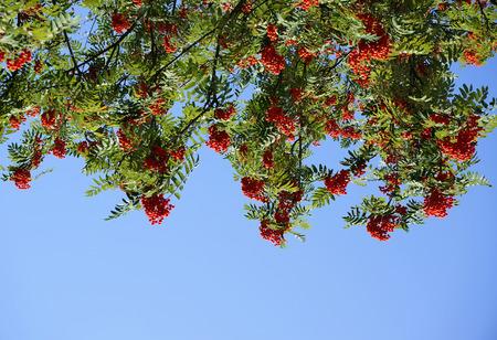 Bunch of red rowan berries in blue sky photo