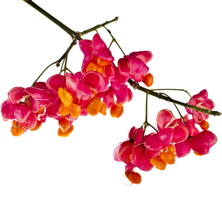 fruits and seed ( Euonymus europaeus) on spindle tree isolated on white background photo