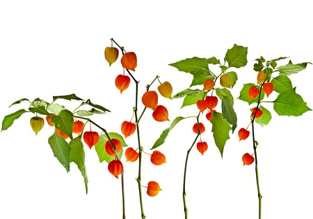 physalis: Physalis alkekengi plant with inflorescence Isolated on white background
