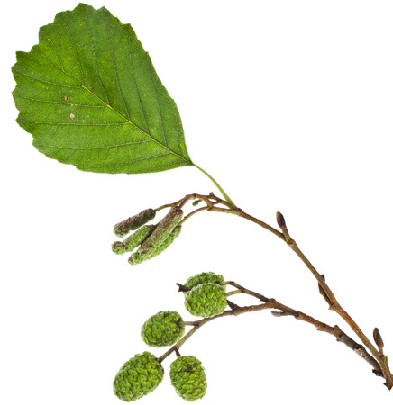 alder: alder leaves with green cones isolated on white background
