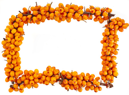 seabuckthorn: top frame from branch of fresh orange sea-buckthorn berries on isolated white background