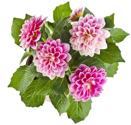 dalia: Hermoso ramo rosa dalia aislada sobre fondo blanco Foto de archivo