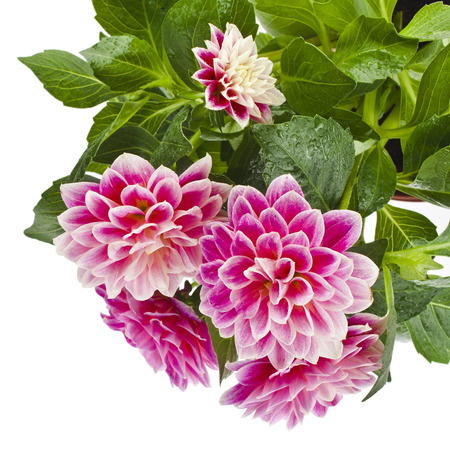 dalia: Hermosas rosa dalia cerca aisladas sobre fondo blanco