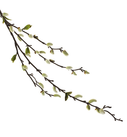 Spring branches Catkins Willow isolated on white background photo