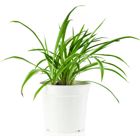 Green Plant Chlorophytum in flowerpot isolated on white background