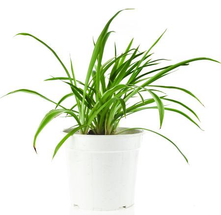 Green Plant Chlorophytum in flowerpot isolated on white background