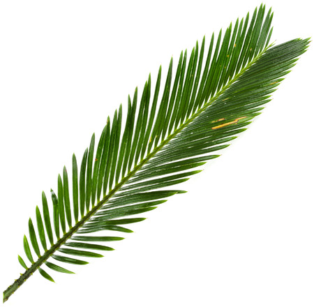 cycadaceae: Single Green leaf of palm tree close up isolate on white background Stock Photo