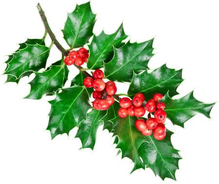 christmas holly: Decorative Christmas branch Stock Photo