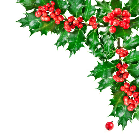 traditional plants: Decorative corner border with Christmas holly plant isolated on white background