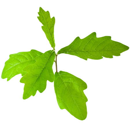 earth nut: Sprout a young oak tree on white background Stock Photo