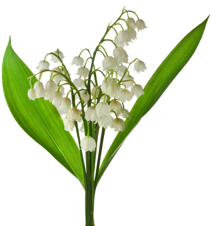 muguet: Lily of the Valley Convallaria Majalis isolated on white