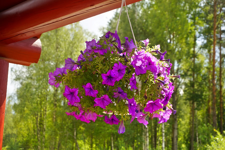 petunia: bouquet of flowers in a pot hanging Petunia in the courtyard in summer sunny day