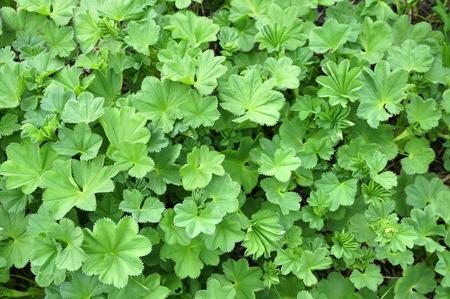alchemilla: Alchemilla vulgaris