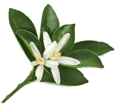 Citrus bloeiende tak close-up geïsoleerd op wit Stockfoto - 42003887