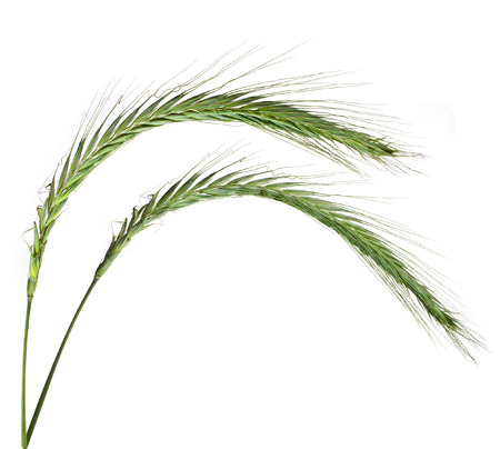 wild herbs: Young Spikelet Barley of green meadow grass isolated on white background
