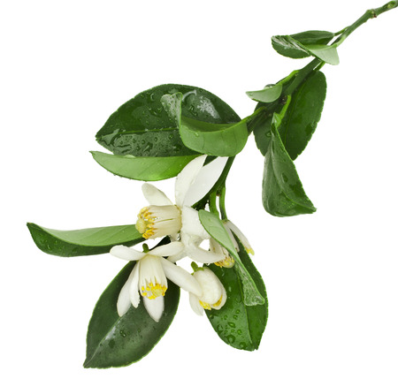 citrus blooming branch close up isolated on white Stockfoto