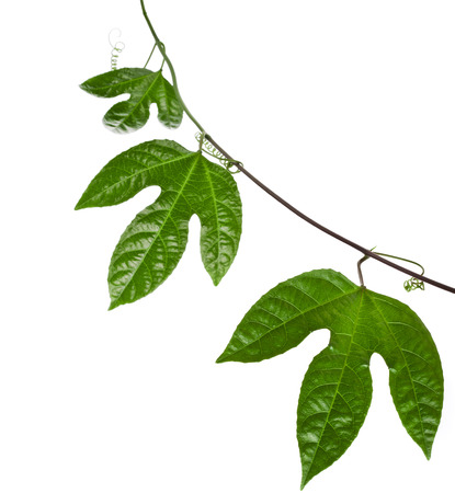 grenadilla: Green Leaves Passion Fruit close up macro shot isolated on white background