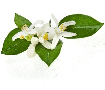 naranja arbol: cítricos rama en flor cerca aisladas sobre fondo blanco Foto de archivo