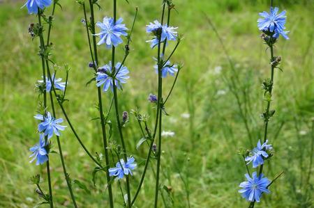 chicory flower: Blue Chicory flower Cichorium intybus Stock Photo