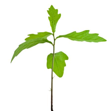 Spruit een jonge eiken boom op een witte achtergrond Stockfoto