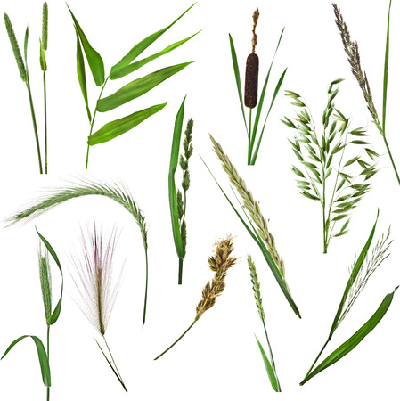 grass close up: grass collection set of green reed plant close up isolated on white background