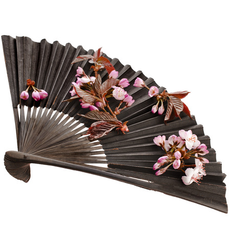 paper fan: Fresh Flower Sakura in a Black Vintage Japanese Paper Fan Isolated on white background