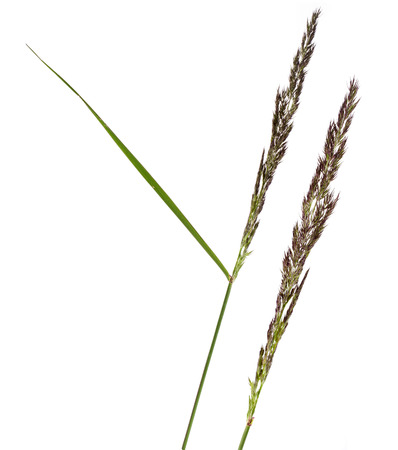 fescue: BROMUS POACEAE plant grass close up macro shot Isolated on white background Stock Photo