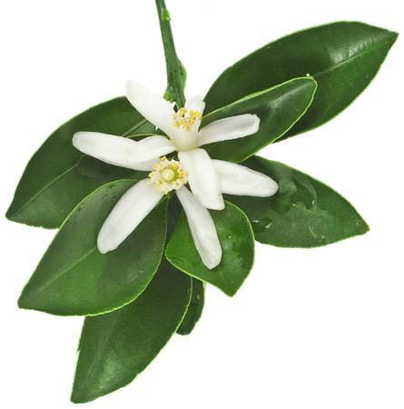 Agrume ramo fiorito vicino isolato su bianco Archivio Fotografico - 42004518
