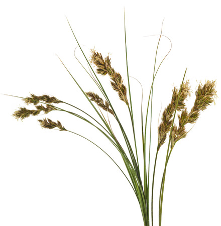 carex: Bunch of SAND SEDGE Carex grass plant lat. Carex arenaria Cyperaceae Isolated on white background Stock Photo