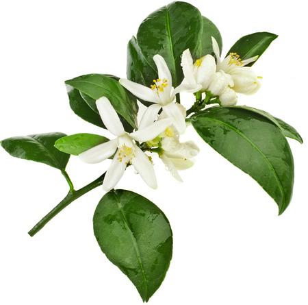 CITRICOS: cítricos rama en flor de cerca aislado en blanco Foto de archivo