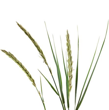 carex: ELYMUS LEYMUS ARENARIUS Plant Grass Isolated on white background Stock Photo