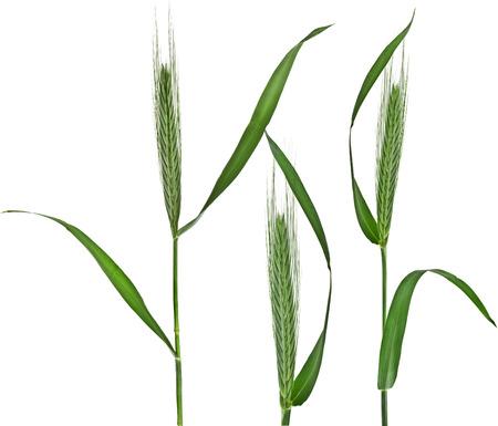 meadow  grass: Joven Espiguilla Cebada del prado de hierba verde aislado en el fondo blanco
