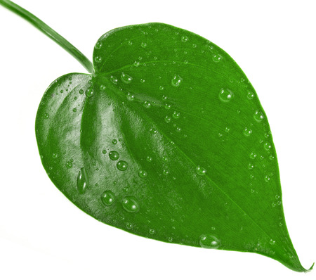 leaf shape: One green leaf shape heart with water drops close up isolated on white background