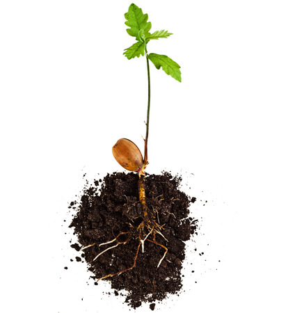 Sprout of a young oak tree isolated on white background Banque d'images
