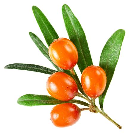 Sea buckthorn branch with berries