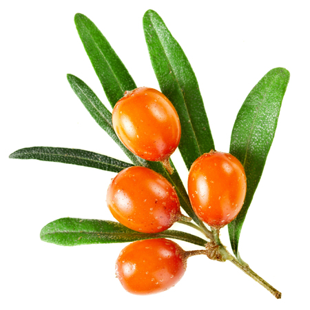Sea buckthorn branch with berries