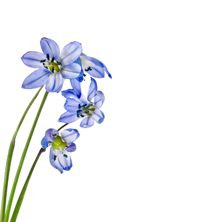 Spring flowers scilla snowdrop isolated Stockfoto