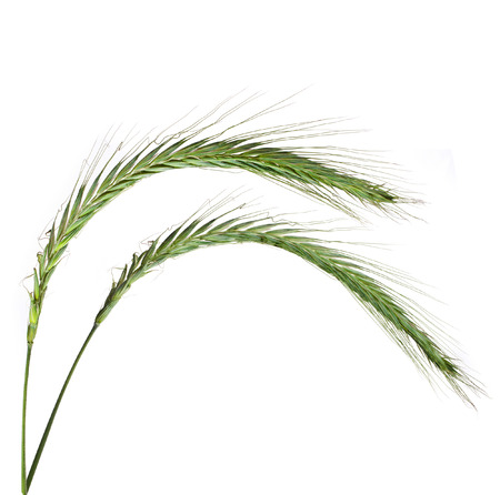 Young Spikelet Barley