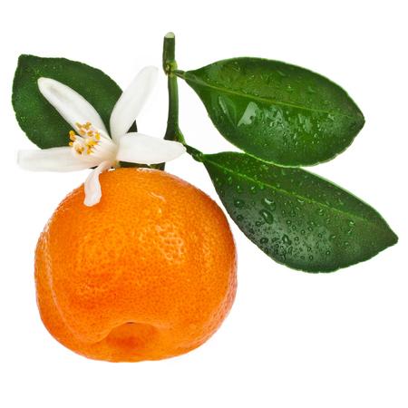 Citrus Calamondin fruit close up Stockfoto