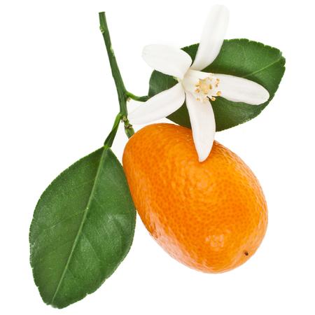 One kumquat citrus fruit flowering
