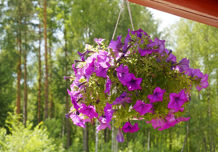 Petunia flowers in a pot hanging Stockfoto