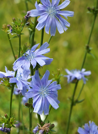 Close up Blue Chicory flowers