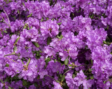 Purple Rhododendron background Stockfoto
