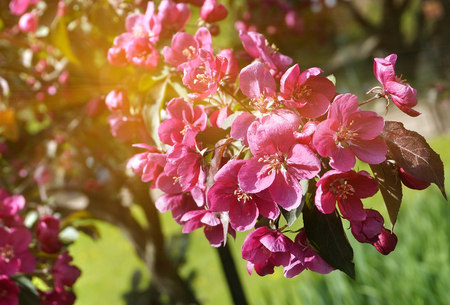 Red apple blossom