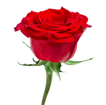 One Red Rose Flower isolated