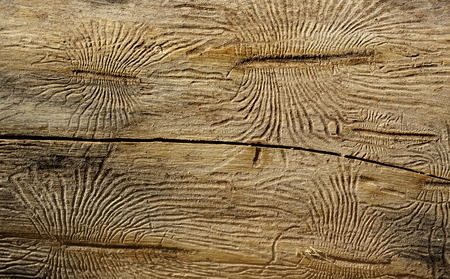 barks: Bark beetles ways on wood