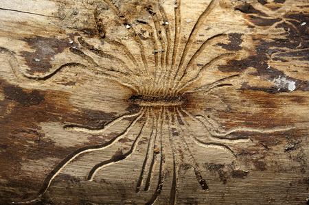 Bark beetles ways on wood