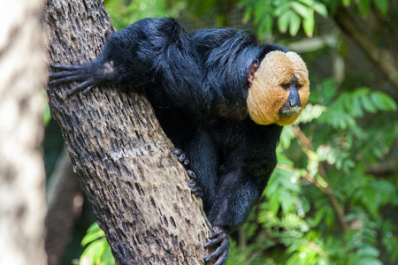 saki: Pitheciidae, White-faced saki